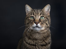 Retrato del gato europeo del shorthair del gato atigrado negro imagen de archivo