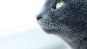 Retrato del gato Gato criado en línea pura gruñón feroz Animales domésticos nacionales divertidos Primer de los ojos de gato almacen de metraje de vídeo
