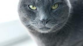 Retrato del gato Gato criado en línea pura gruñón feroz Animales domésticos nacionales divertidos Primer de los ojos de gato metrajes