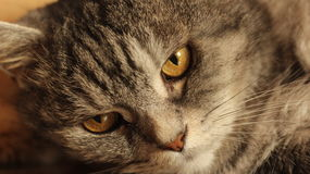 Retrato del gato gris en casa Imagen de archivo