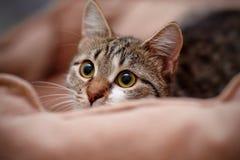 Retrato del gato guardado rayado foto de archivo