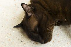 Retrato del gato marrón Imagen de archivo libre de regalías