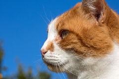 Retrato del gato nacional Fotos de archivo libres de regalías