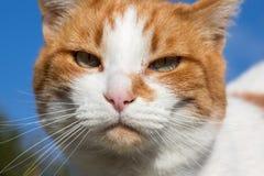 Retrato del gato nacional Foto de archivo
