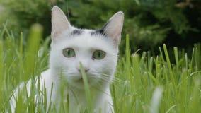 Retrato del gato nacional adorable con los ojos grandes que ponen en un campo de la hierba que mira alrededor de disfrutar de la  almacen de video
