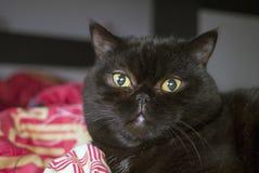 Retrato del gato negro Imagen de archivo libre de regalías