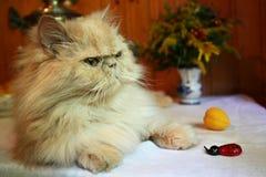 Retrato del gato persa adulto con la abeja y el melocotón falsos Fotografía de archivo