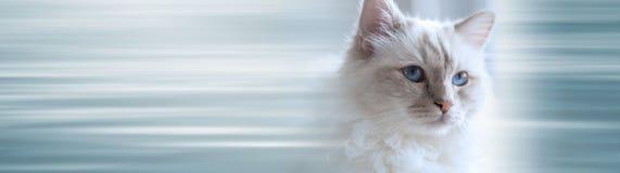 Retrato del gato sagrado hermoso de Birmania Bandera panor?mica imagen de archivo
