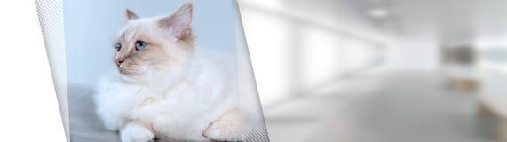 Retrato del gato sagrado hermoso de Birmania; bandera panor?mica fotos de archivo