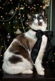 Retrato del gato siamés Imagenes de archivo