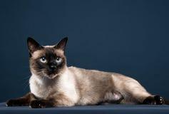 Retrato del gato siamés en fondo azul marino Foto de archivo libre de regalías