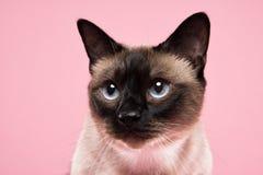 Retrato del gato siamés en fondo rosado oscuro Fotos de archivo libres de regalías