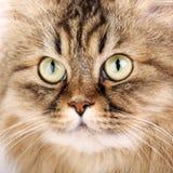 Retrato del gato siberiano Fotos de archivo