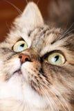 Retrato del gato siberiano Foto de archivo