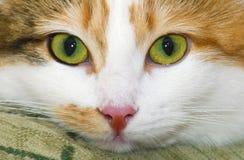 Retrato del gato siberiano manchado Foto de archivo libre de regalías