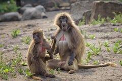 Retrato del gelada del mono, gelada de Theropithecus, el mono del corazón sangrante, babuino del gelada Varón y hembra fotos de archivo libres de regalías