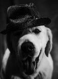 Retrato del golden retriever Fotografía de archivo libre de regalías