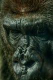 Retrato del gorila Fotografía de archivo