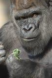 Retrato del gorila de tierra baja occidental Imagen de archivo libre de regalías