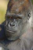 Retrato del gorila de tierra baja occidental Imagenes de archivo