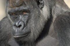 Retrato del gorila de tierra baja occidental Fotografía de archivo libre de regalías