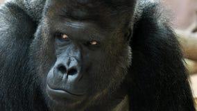 Retrato del gorila masculino, gorila masculino apoyado de plata almacen de metraje de vídeo