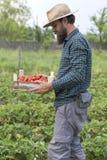 Retrato del granjero joven que sostiene una caja llena con el str rojo fresco foto de archivo