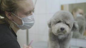 Retrato del groomer del animal doméstico en la máscara con el pequeño pelo de perro gris en salonclose de los groomers para arrib almacen de video