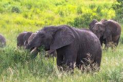 Retrato del grupo de los elefantes Tarangire, Tanzania Fotos de archivo libres de regalías