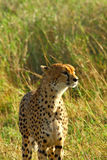 Retrato del guepardo Foto de archivo libre de regalías