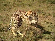 Retrato del guepardo Foto de archivo