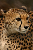 Retrato del guepardo Fotografía de archivo libre de regalías