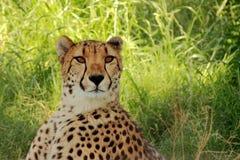 Retrato del guepardo fotografía de archivo