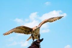 Retrato del halcón Fotos de archivo