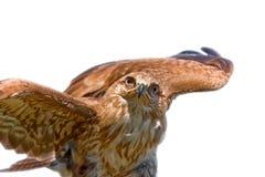 Retrato del halcón Foto de archivo