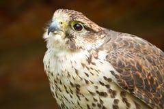 Retrato del halcón Fotografía de archivo libre de regalías