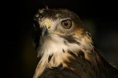 Retrato del halcón Imágenes de archivo libres de regalías