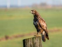 Retrato del halcón, buteo del Buteo, en polo de madera en tierras de labrantío, EE foto de archivo libre de regalías