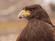 Retrato del halcón de Harris Fotografía de archivo libre de regalías