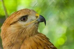 Retrato del halcón zanquilargo Foto de archivo