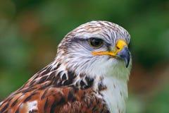 Retrato del halcón ferruginoso Fotografía de archivo