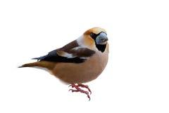 Retrato del Hawfinch Foto de archivo libre de regalías