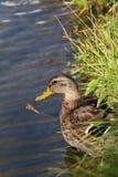 Retrato del hembras del pato en el agua fotos de archivo libres de regalías