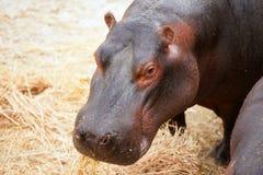 Retrato del hippopotamus del hipopótamo Foto de archivo libre de regalías