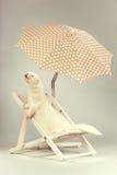 Retrato del hurón del albino en silla de playa en estudio Imagenes de archivo