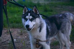 Retrato del husky siberiano al aire libre foto de archivo