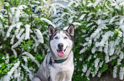 Retrato del husky siberiano con el fondo de la flor blanca Fotos de archivo libres de regalías