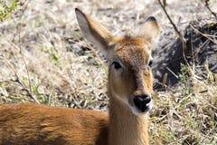 Retrato del impala, melampus del Aepyceros, parque nacional de Chobe, Botswana Fotos de archivo libres de regalías