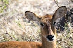 Retrato del impala, melampus del Aepyceros, parque nacional de Chobe, Botswana Foto de archivo