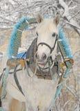 Retrato del invierno de un caballo gris en trineo Imagen de archivo libre de regalías
